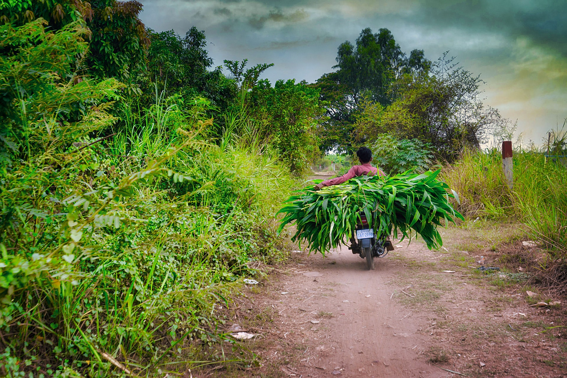 man in red shirt riding motorcycle loaded with green leaves countryside road in Cambodia, during daytime